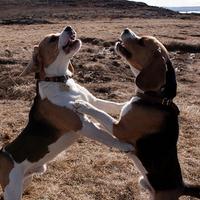 Beagle duett