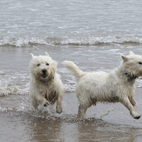 Két westie a tengerparton