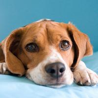 A beagle és a nagy kékség