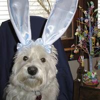 Húsvéti westie