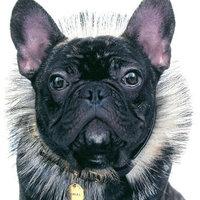 A szupermodell francia bulldog