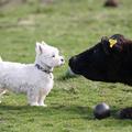A westie és a tehén