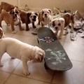 Gördeszkázó angol bulldog kölykök
