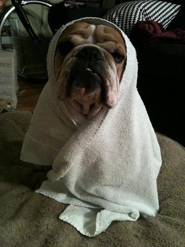 bulldog kutya