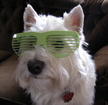 westie kutya szemüvegben