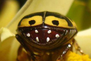 Pachnoda-sinuata-mimicry-uncropped