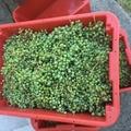 Verjus, a zöld lé