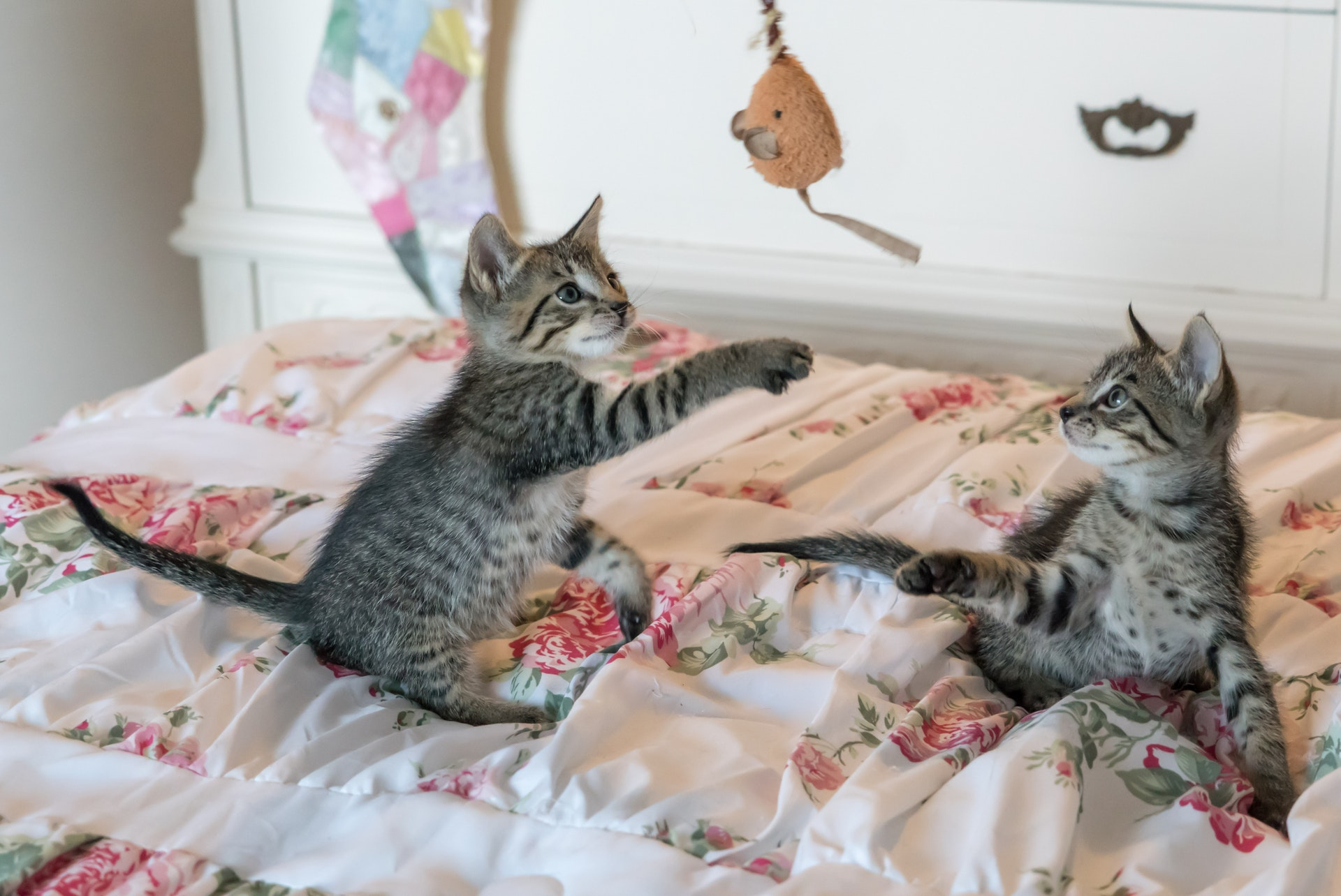 tabby-kittens-on-floral-comforter-160755.jpg