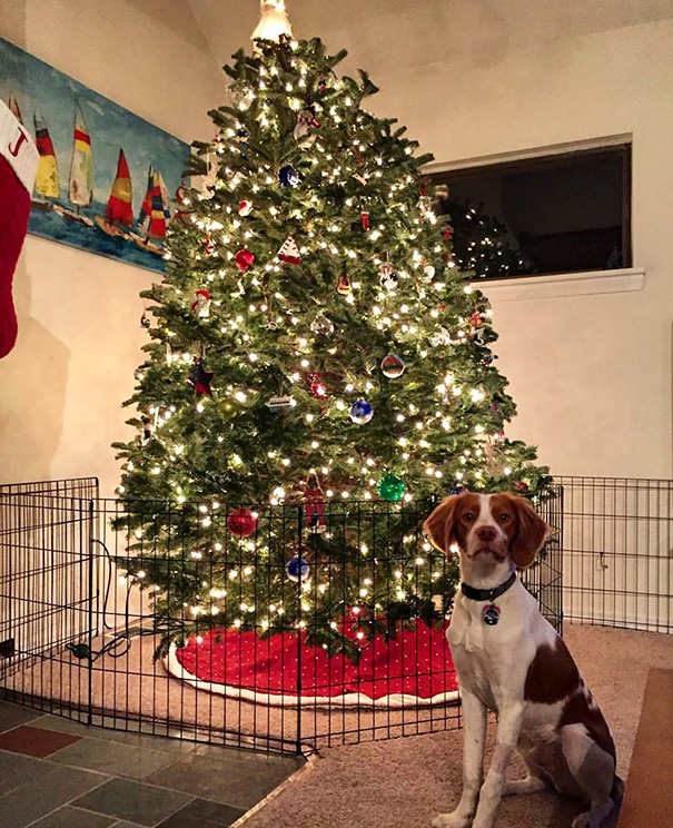 protecting-christmas-tree-from-dogs-cats-pets-16-585a72c83d944_605.jpg