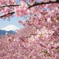 A legszebb képek az idei japán cseresznyevirázásról