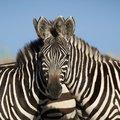 A nap kérdése: a két zebra közül melyik néz a kamerába?