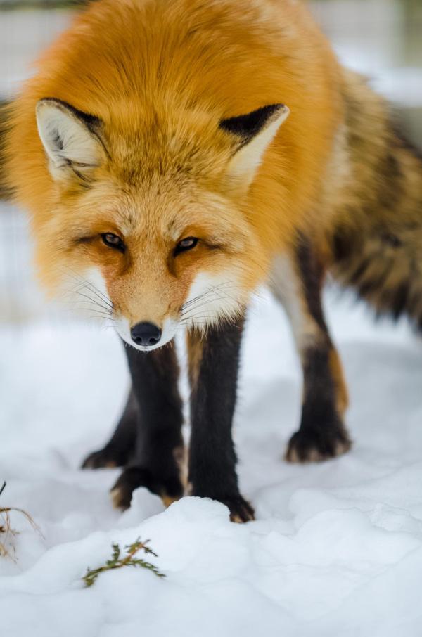1-fox-pictures.jpg