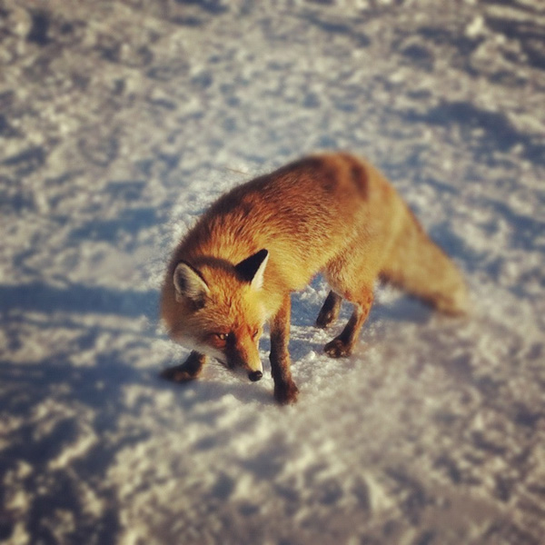 14-fox-pictures.jpg