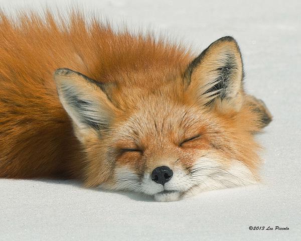 2-fox-pictures.jpg