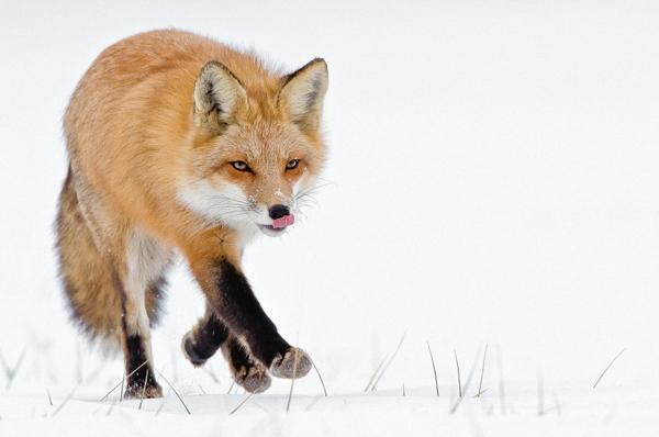 26-fox-pictures.jpg
