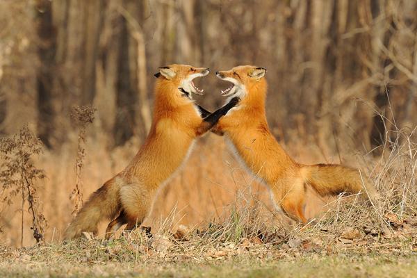 27-fox-pictures.jpg