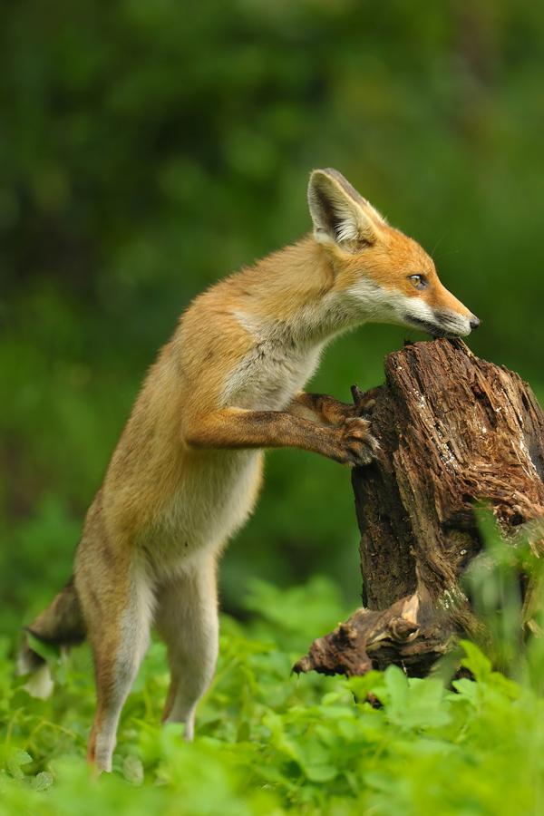 3-fox-pictures.jpg