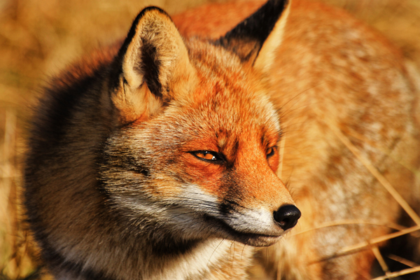 5-fox-pictures.jpg