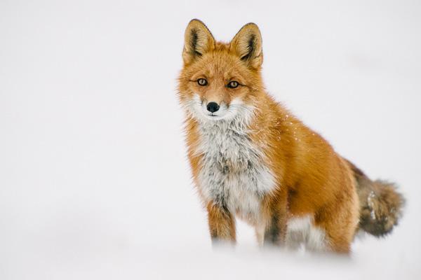 7-fox-pictures.jpg