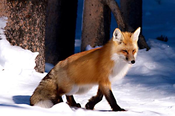 8-fox-pictures.jpg