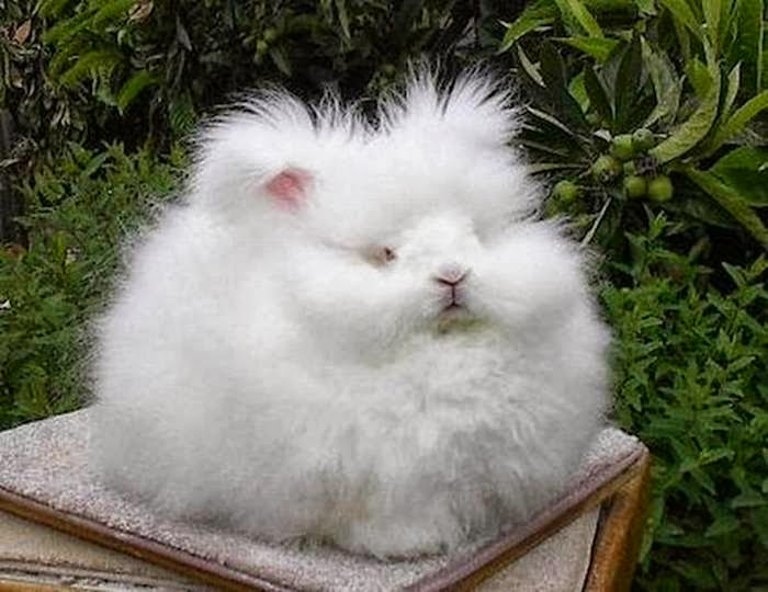 The most fluffy bunny in the world03.jpg