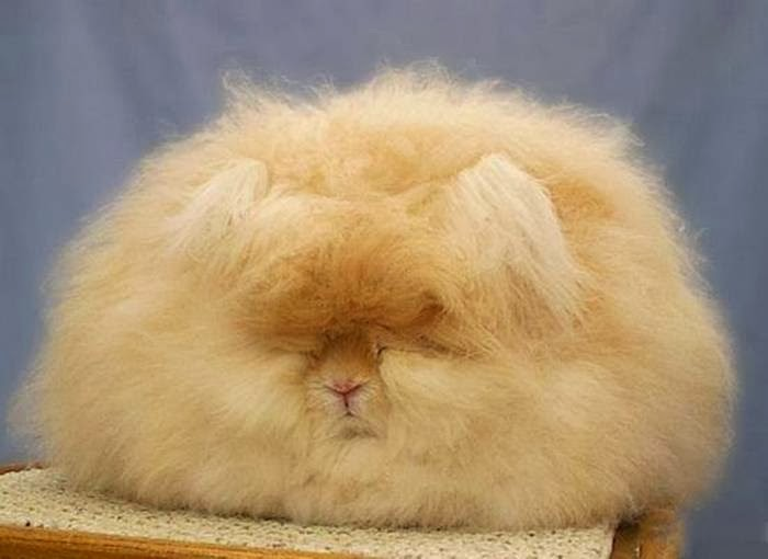 The most fluffy bunny in the world04.jpg
