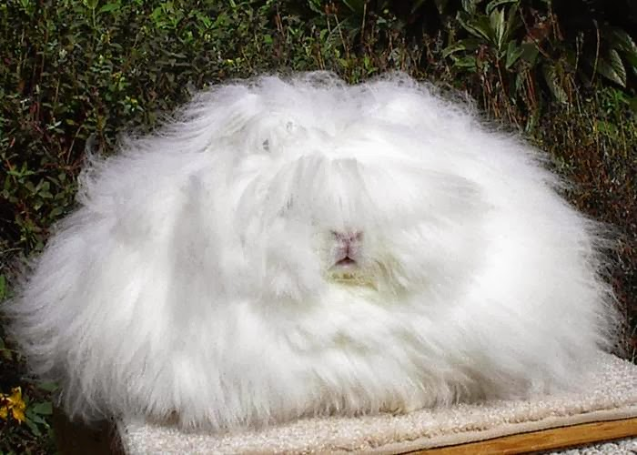The most fluffy bunny in the world05.jpg