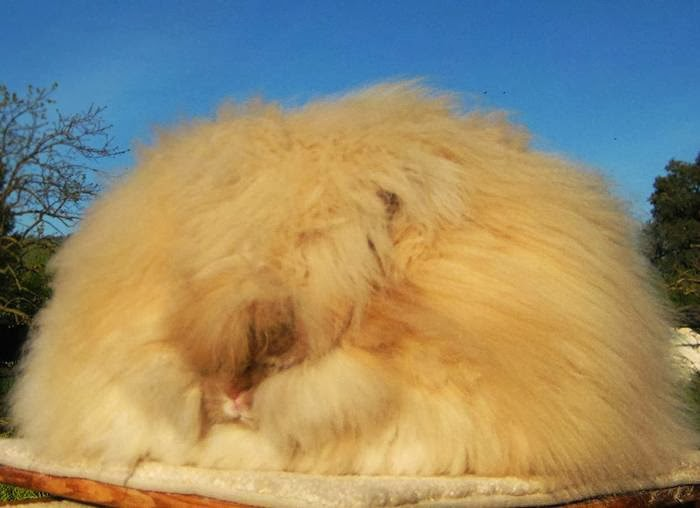 The most fluffy bunny in the world06.jpg