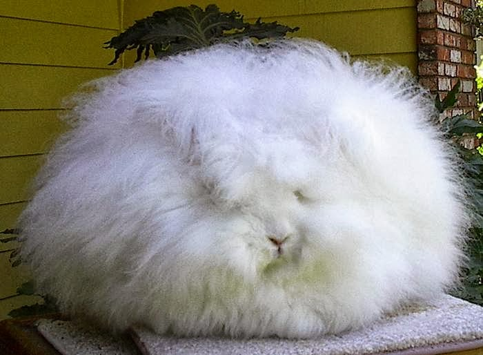 The most fluffy bunny in the world07.jpg