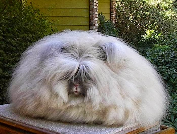 The most fluffy bunny in the world08.jpg