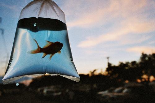 bag-fish-goldfish-light-sun-Favim.com-47324.jpg