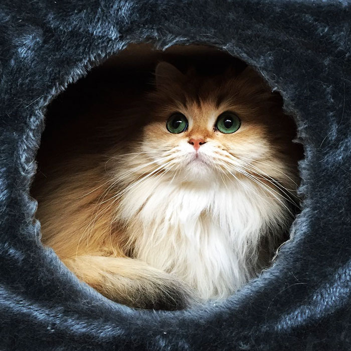 beautiful-fluffy-cat-british-longhair-11.jpg