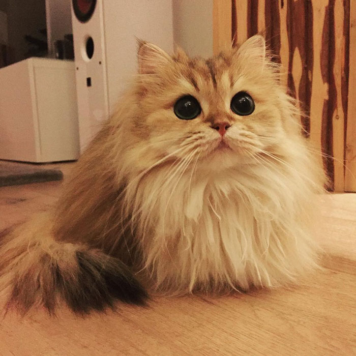 beautiful-fluffy-cat-british-longhair-2.jpg