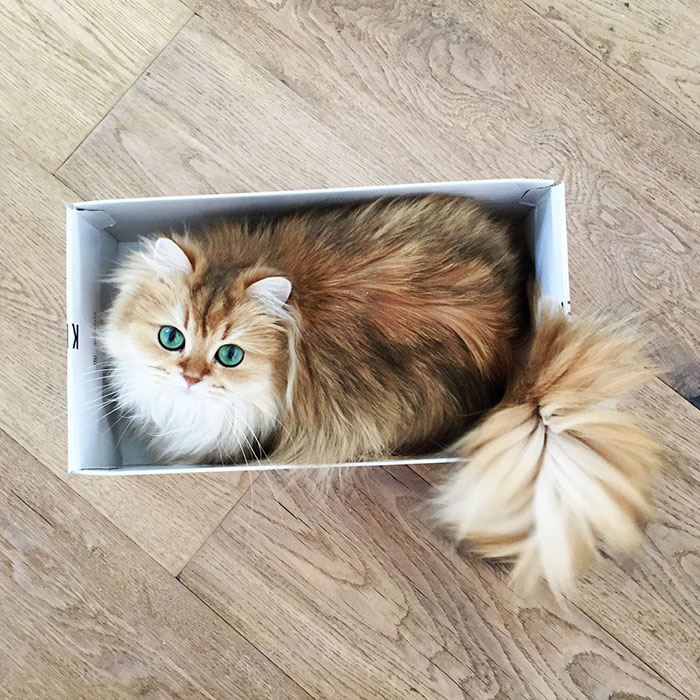 beautiful-fluffy-cat-british-longhair-21.jpg
