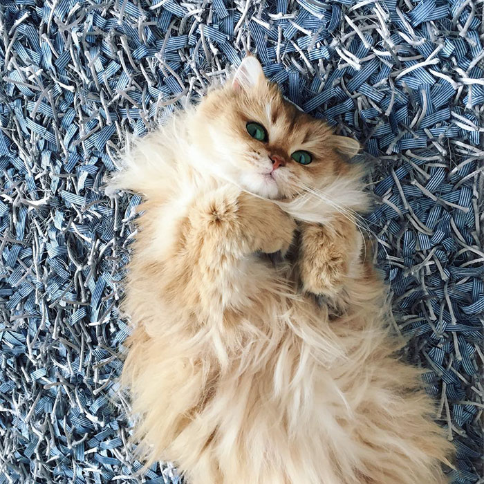 beautiful-fluffy-cat-british-longhair-24.jpg
