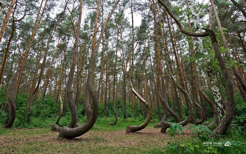crooked-forest-3[6].jpg
