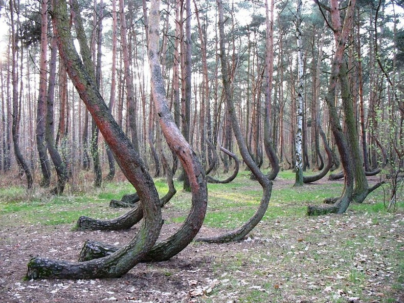 crooked-forest-4[2].jpg