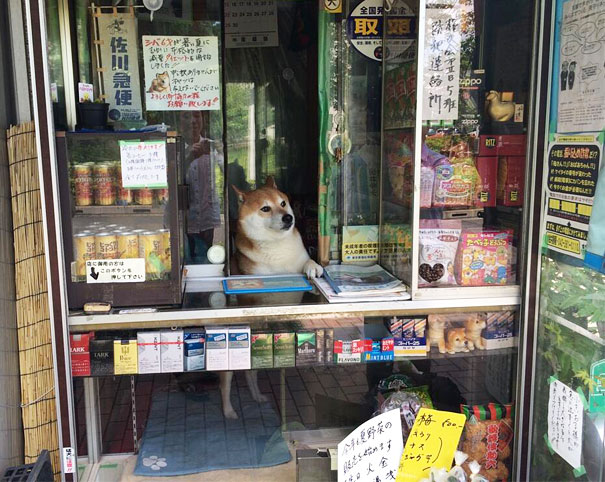 dog-opens-counter-window-shiba-inu-doge-1.jpg