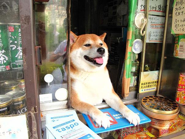 dog-opens-counter-window-shiba-inu-doge-3.jpg