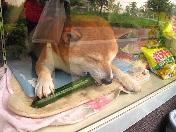 dog-opens-counter-window-shiba-inu-doge-4.jpg