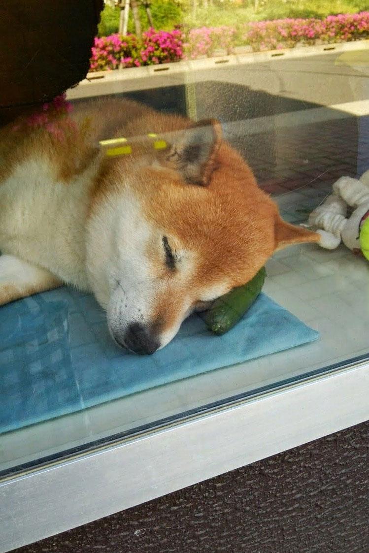 dog-opens-counter-window-shiba-inu-doge-5.jpg