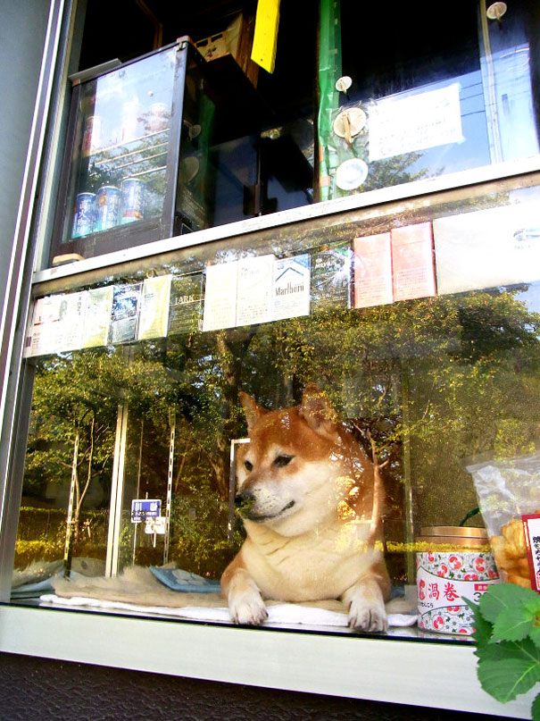 dog-opens-counter-window-shiba-inu-doge-6.jpg
