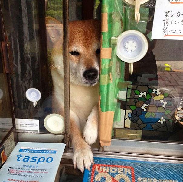 dog-opens-counter-window-shiba-inu-doge-7.jpg