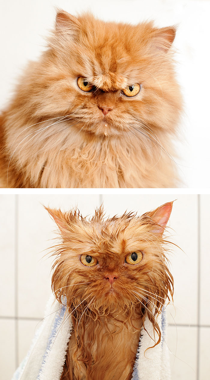 funny-wet-pets-before-after-bath-dogs-cats-47-5728a6b3050ff_700.jpg
