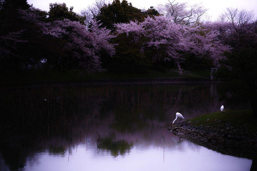 spring-japan-cherry-blossoms-national-geographics-201.jpg