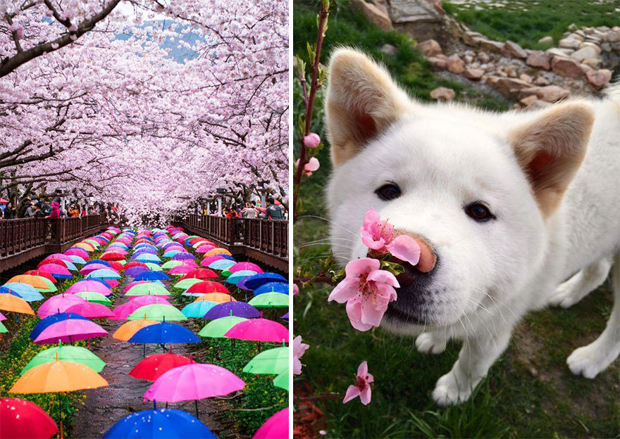 spring-japan-cherry-blossoms-national-geographics-221.jpg