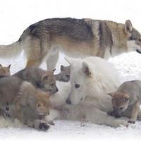 Mi közük a farkasoknak az emberi szüléshez, szoptatáshoz?