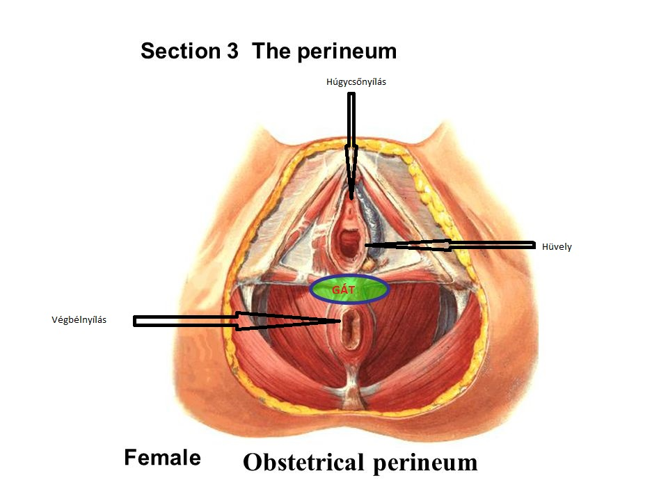 section_3_the_perineum_female_obstetrical_perineum_1.jpg