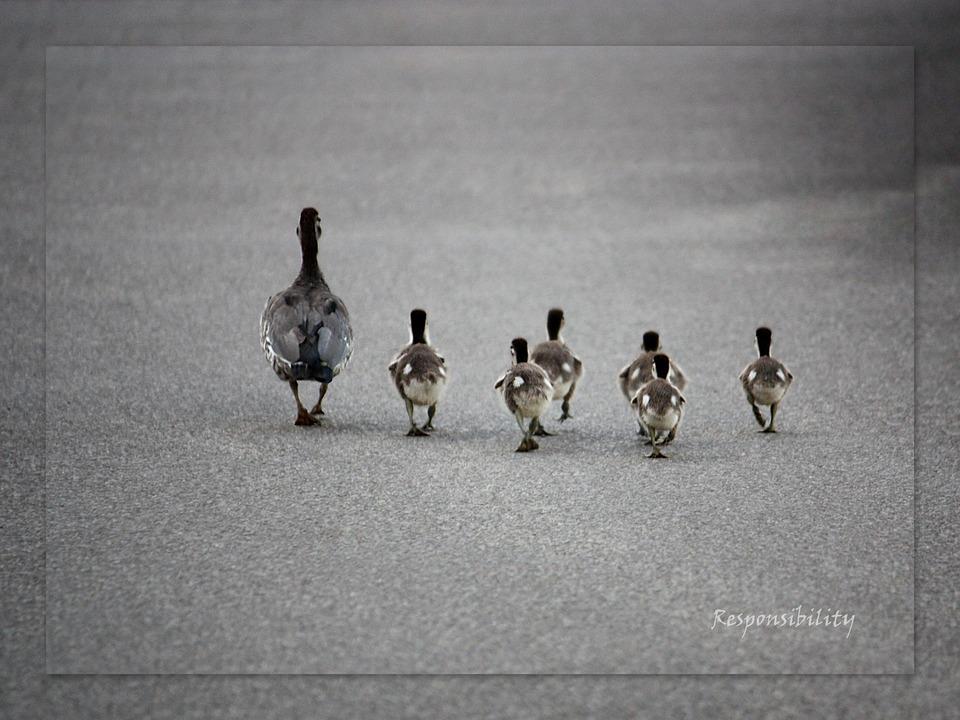 ducks-686098_960_720.jpg