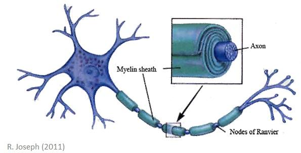 myelin2.jpg